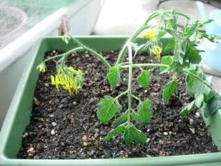 ミニトマト挿し芽