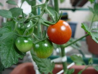 収穫ミニトマト0704