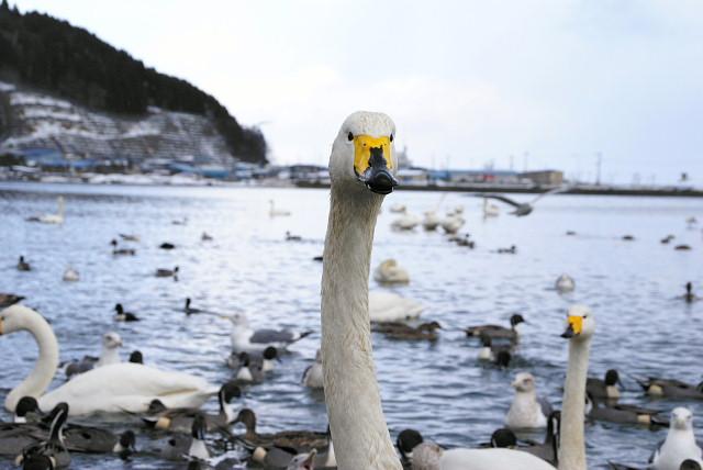 swan080115.jpg
