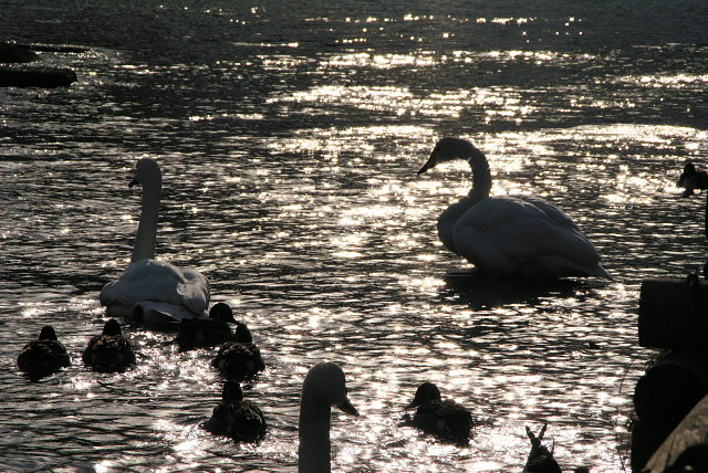 swan080201b.jpg