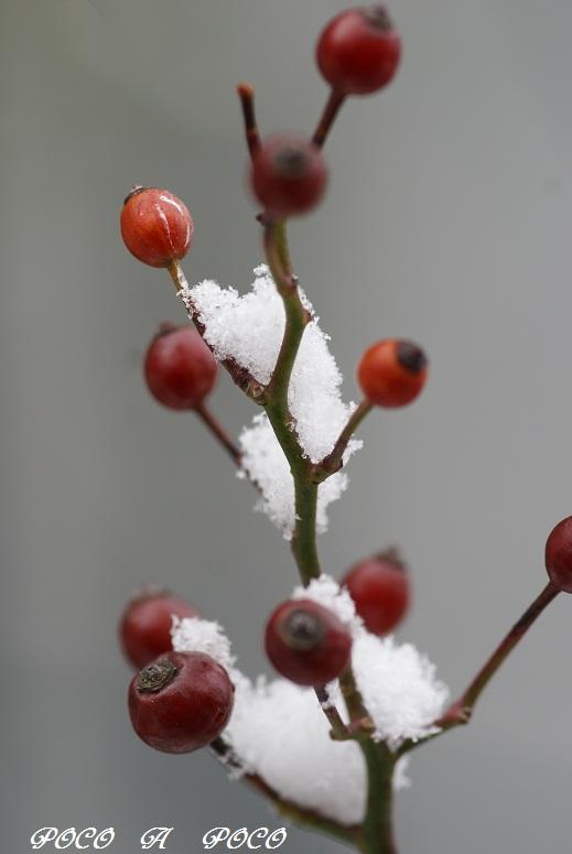 野バラの実と雪