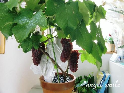 ぶどうの植木