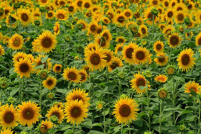 大山町 ヒマワリ 向日葵