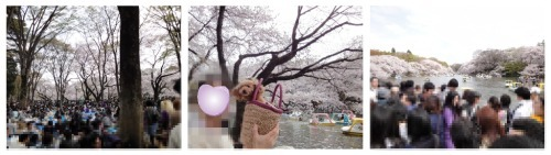 inokashira-sakura.jpg