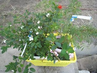 きなし盆栽植木まつり