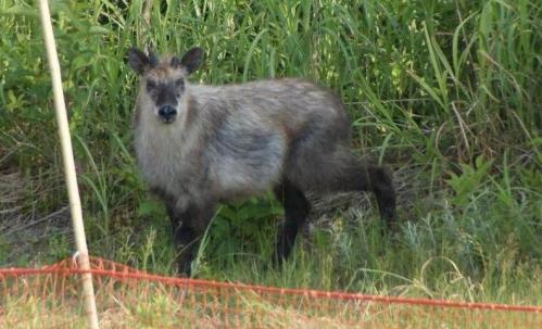 serade-to17s野生の日本鹿