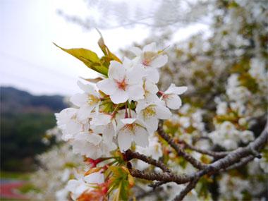 0303hinamatsuri_4.jpg