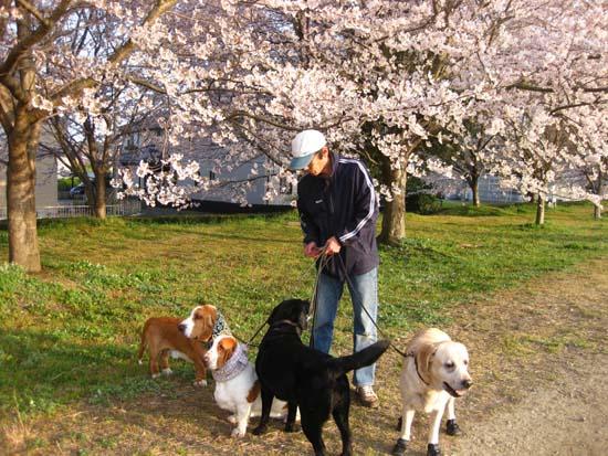 02桜並木