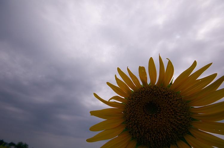 向日葵が満開! 2