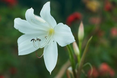 white-lily.jpg