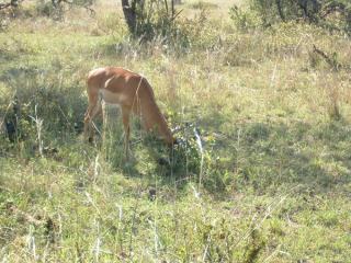 gazel.jpg
