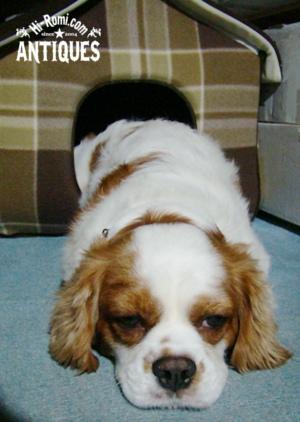 看板犬。キャバリアのココちゃん。やっぱり眠い。