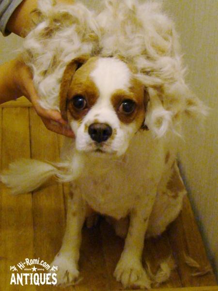 看板犬キャバリアのココちゃん。6mmカット。