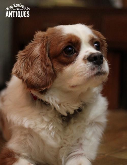 看板犬キャバリアのココちゃん。ちっちゃいセントバーナードに見える。