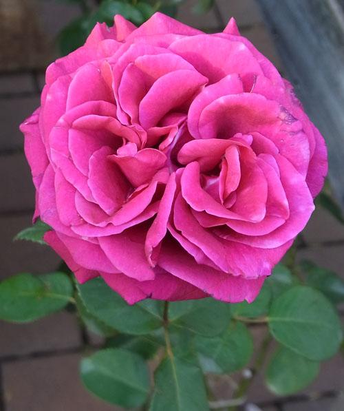 Rose du Centenaire
