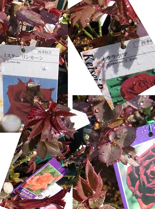 黒赤系のバラの赤葉