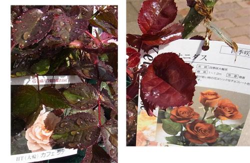 茶系のバラの赤葉