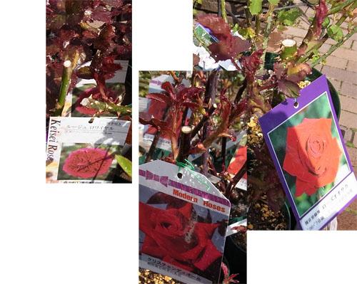 赤系のバラの赤葉