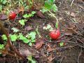 20110528イチゴ