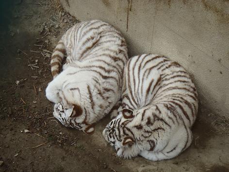 ホワイト・タイガーの子
