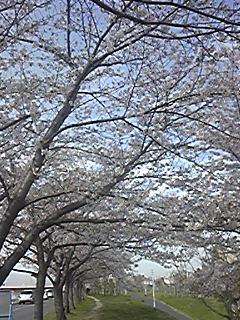 桜の下で3