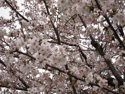 土曜日の桜1