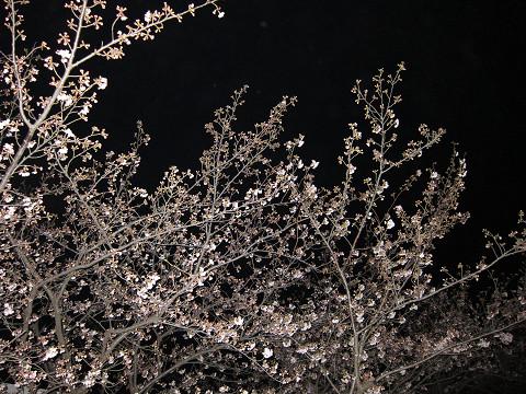 土曜日の桜2