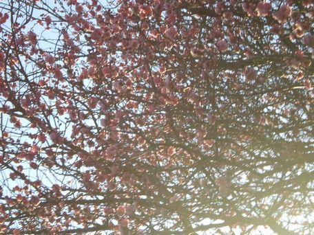 梅は~咲いたか~。