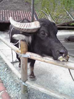 琉球村 水牛