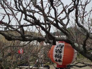 青谷梅3/7つぼみ