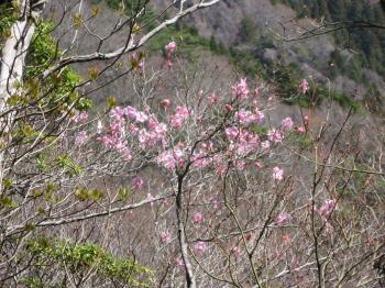 アカヤシオが咲いていました