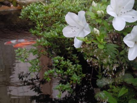 池のツツジ2