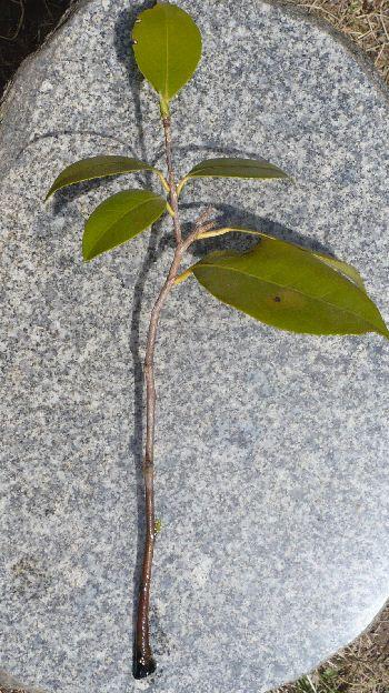 椿挿し木2