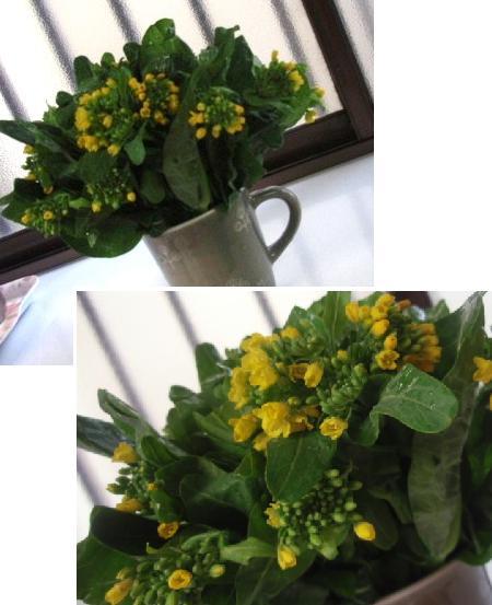4月11日菜の花
