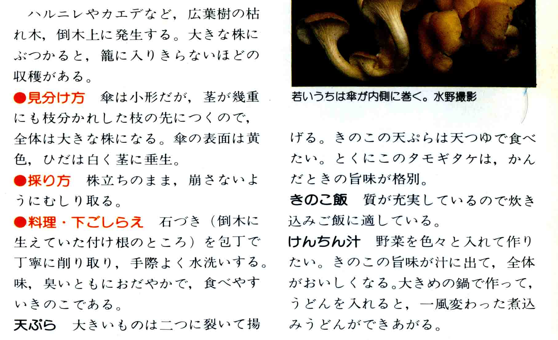 タモギタケ(2)