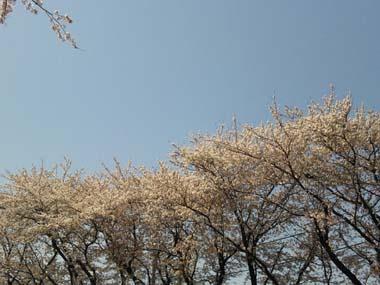 桜まだまだ