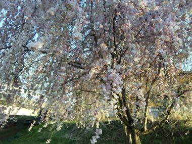 桜まだまだまだ