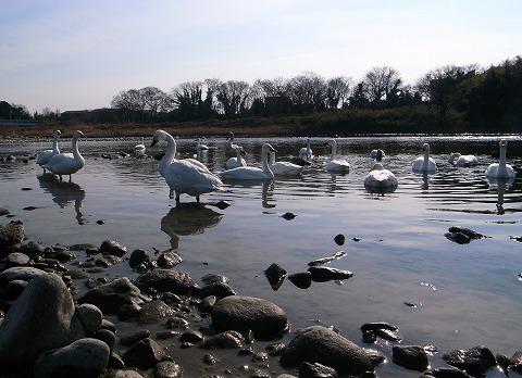 2012-01-18 川本白鳥 031