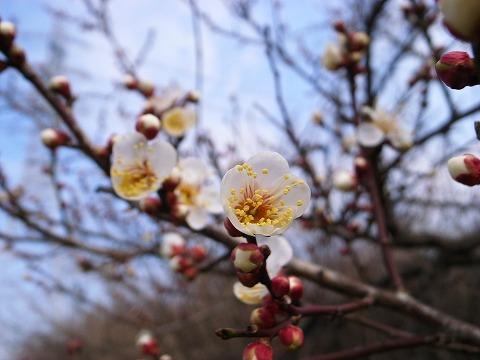 2012-02-22 入間川CR梅の花 025