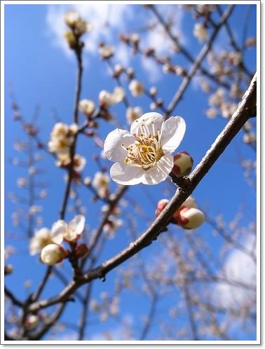 2012-03-14 青梅梅林 010