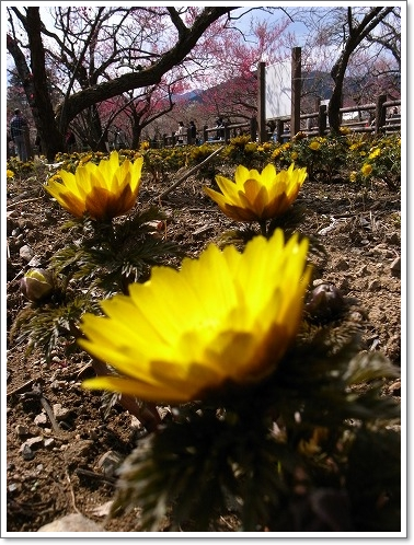 2012-03-14 青梅梅林 032