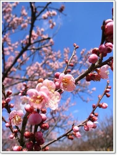 2012-03-14 青梅梅林 007