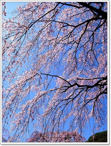 2012-04-04 川越スナップ春 039
