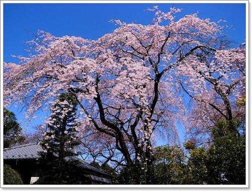 2012-04-04 川越スナップ春 034