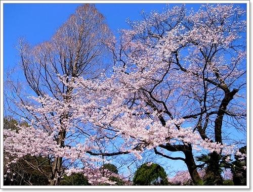 2012-04-04 川越スナップ春 012