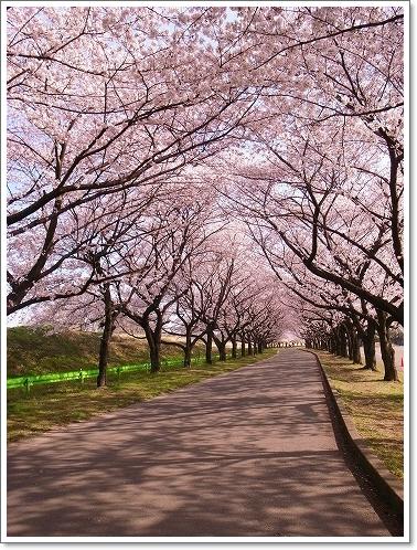 2012-04-10 川越水上公園桜 039