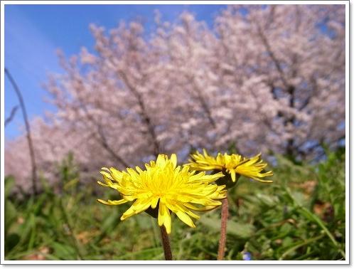 2012-04-10 川越水上公園桜 013