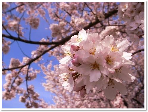 2012-04-10 川越水上公園桜 004