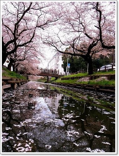 2012-04-13 新河岸川誉桜 005