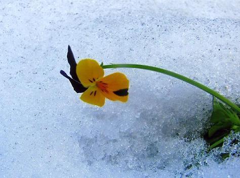 雪の花002